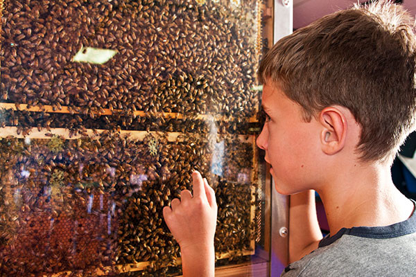 A young boy looks at a wall of living bees in their hive through a glass panel.