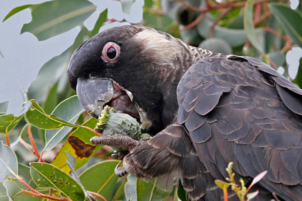 A close up of a Black Cockatoo sitting in a tree eating a flower.