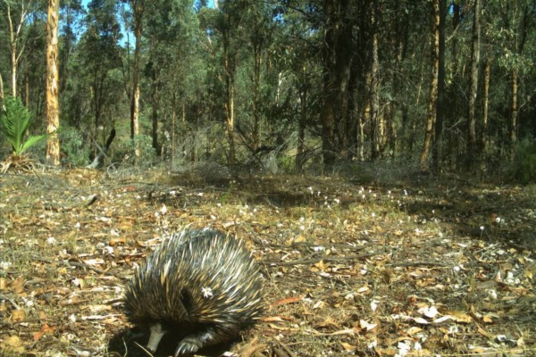 An echidna in the Australian outback with dense shrubs in background.