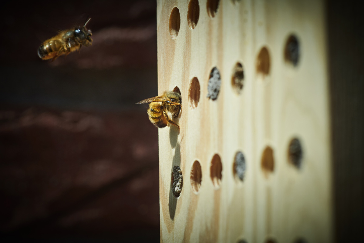 Two bees approach a piece of wood with holes drilled in to it as part of an insect hotel
